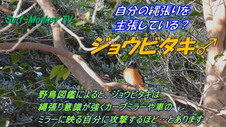 0208ジョウビ♂.jpg