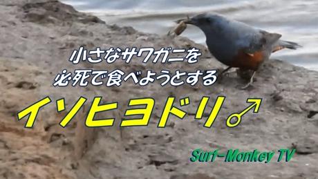 0318イソヒヨドリ.jpg