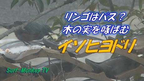 0127イソヒヨ.jpg